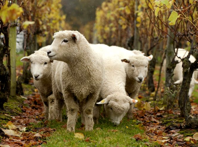 Sheep Article